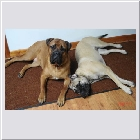 Kenoa and Clint's Oscar & Lilly and Clint's Jasmine same owners Sue & Guy.jpg